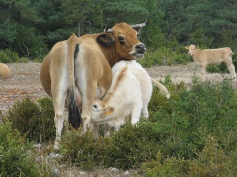 cow-2776988_1920