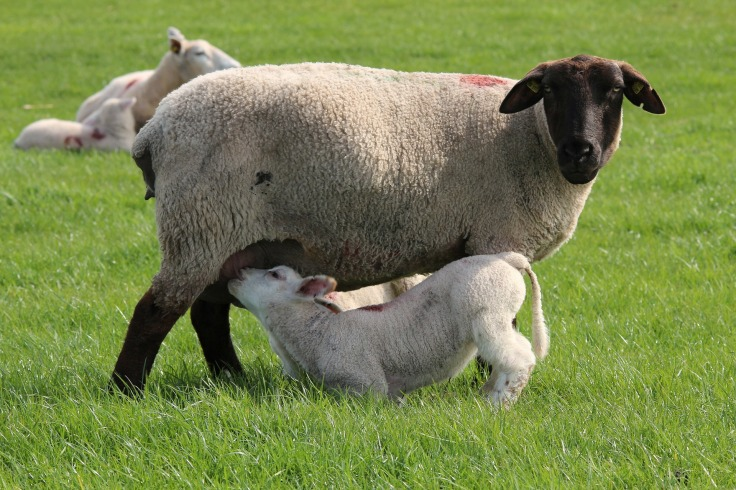 sheep-323065_1920